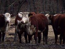 Бело- коричневая корова Стоковые Фото