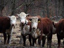 Бело- коричневая корова Стоковые Изображения