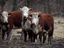 Бело- коричневая корова Стоковое фото RF