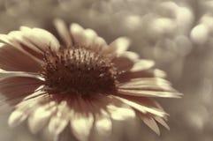 Бело-коричневый цветок сада на бело-коричневом запачканном bokeh предпосылки Конец-вверх вектор детального чертежа предпосылки фл Стоковые Изображения RF