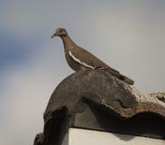 Бело-подогнали голубь на крыше плитки Стоковое Изображение RF