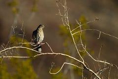 Бело-подогнали голубь, Zenaida asiatica Стоковое Фото