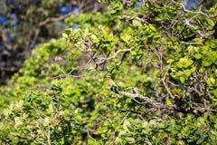 Бело-противостоят bullockoides Merops пчел-едока сидя на ветви Стоковые Изображения