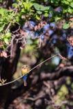 Бело-противостоят bullockoides Merops пчел-едока сидя на ветви Стоковые Фотографии RF