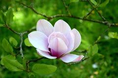 Бело-розовое цветение магнолии в природе Стоковое фото RF
