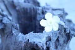 Бело-розовые цветки на деревянных цветках года сбора винограда стиля Стоковые Изображения RF