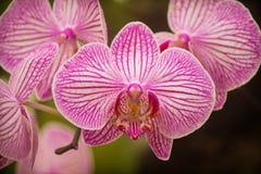 Бело-фиолетовые орхидеи стоковая фотография