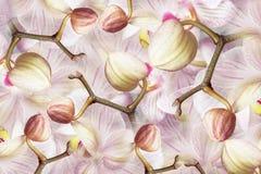 Бело-фиолетов-розовая орхидея бутонов Предпосылка орхидей цветков тюльпаны цветка повилики состава предпосылки белые коллаж пестр Стоковое фото RF