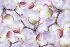 Бело-фиолетов-розов-голубая орхидея бутонов Предпосылка орхидей цветков тюльпаны цветка повилики состава предпосылки белые коллаж Стоковое Изображение RF