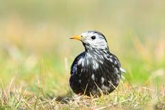 Бело--Cheeked Starling или серый starling Стоковая Фотография RF