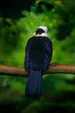 Бело-crested Turaco, leucolophus Turaco, редкая покрашенная зеленая птица с белой головой, в среду обитания природы Turaco сидя н Стоковая Фотография RF