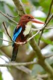 Бело-throated kingfisher Стоковое Изображение