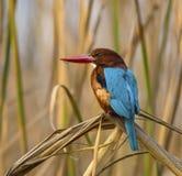 Бело-throated Kingfisher (Halcyon smyrnensis) Стоковая Фотография RF