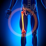 Бедренная кость - косточки анатомии иллюстрация штока