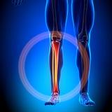 Бедренная кость - косточки анатомии иллюстрация вектора