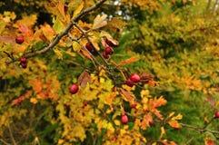 Бедро в осени Стоковое Фото