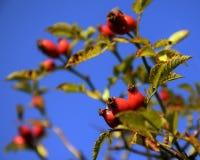 Бедро осени розовое Стоковые Фото