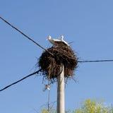 Белые аисты на гнезде Стоковые Фотографии RF