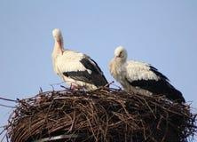 Белые аисты на гнезде Стоковая Фотография