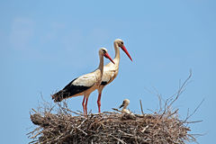 Белые аисты с молодым аистом младенца на гнезде Стоковые Фото