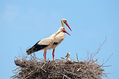 Белые аисты с молодым аистом младенца на гнезде Стоковое фото RF