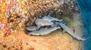 Белые акулы рифа подсказки Стоковые Изображения RF