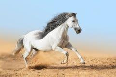Белые андалузские бега лошади в пыли стоковые фото