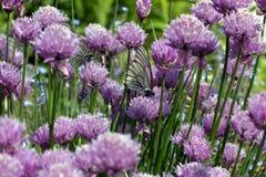 Белые бабочки летая в цветки Стоковая Фотография RF