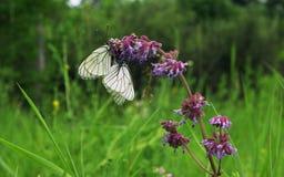 Белые бабочки совместно на цветке на зеленом поле Стоковое Изображение RF