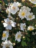 Белые взбираясь розовые цветки Стоковое Изображение RF