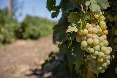 Белые виноградины Стоковое Изображение RF