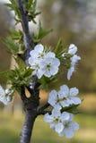 Белые вишневые цвета Бинга - avium сливы Стоковое фото RF