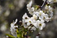 Белые вишневые цвета, солнечность, макрос Стоковая Фотография RF