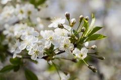 Белые вишневые цвета, солнечность, макрос Стоковая Фотография