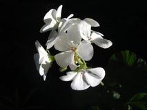 Белые гераниумы Стоковые Фото