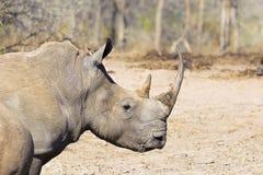 Белые головы и плечи носорога стоковое фото rf