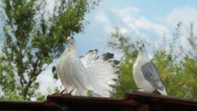 Белые голуби сидят на крыше Стоковое Изображение