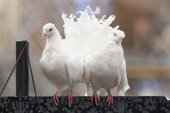 Белые голуби. Стоковые Фотографии RF