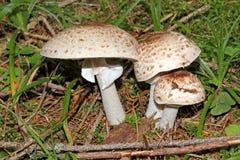 Белые грибки на луге; psalliota Стоковое фото RF