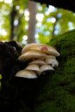 Белые грибы и лишайник Стоковое Изображение RF