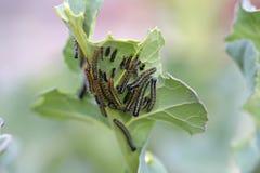 Белые гусеницы бабочки Стоковое Изображение RF