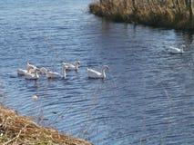 Белые гусыни в пруде с тростником Стоковая Фотография