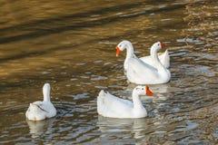 Белые гусыни в пруде Стоковые Изображения