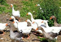 Белые гусыни и утки на ферме в сельской местности Стоковые Изображения