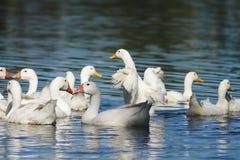 Белые гусыни и утки плавая на открытом море в лете Стоковое Изображение