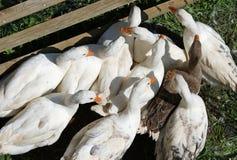 Белые гусыни и утки с апельсином клюва на ферме в co Стоковые Фотографии RF