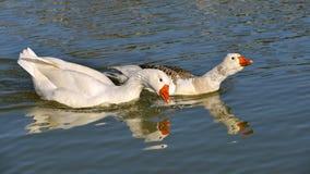 Белые гусыни на воде Стоковое Изображение