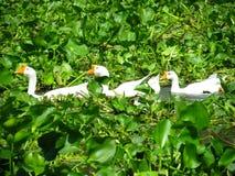 Белые гусыни на воде Стоковая Фотография RF