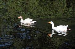 Белые гусыни на реке Эвоне Стоковое Изображение