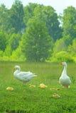 Белые гусыни на луге Стоковая Фотография RF